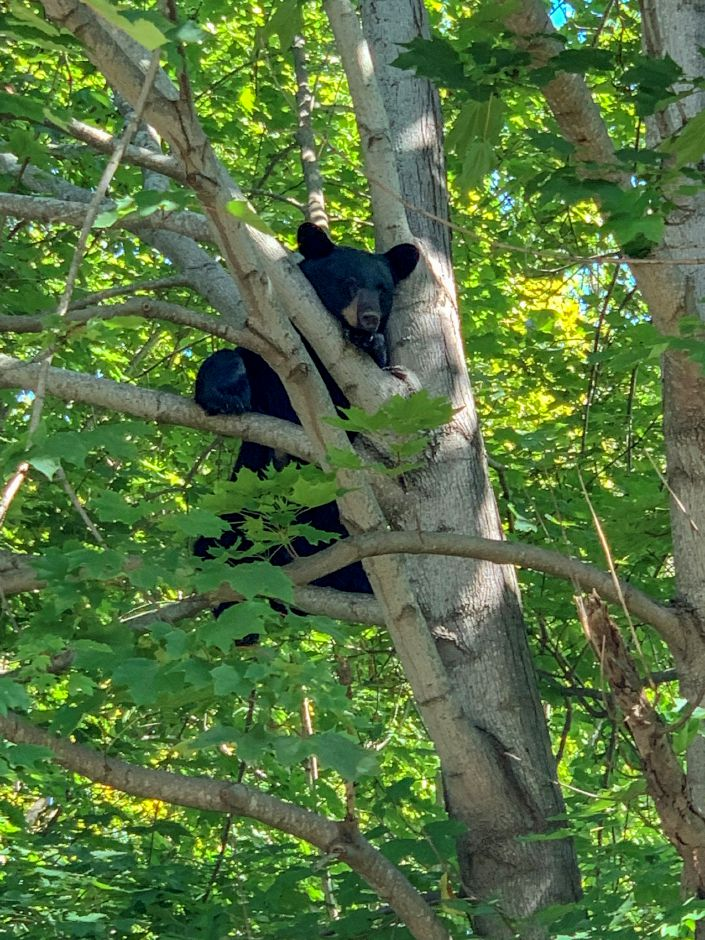 A black bear perches in a tree along Hope Hill Road in Wallingford Tuesday afternoon. Photo courtesy of Sarah Allison