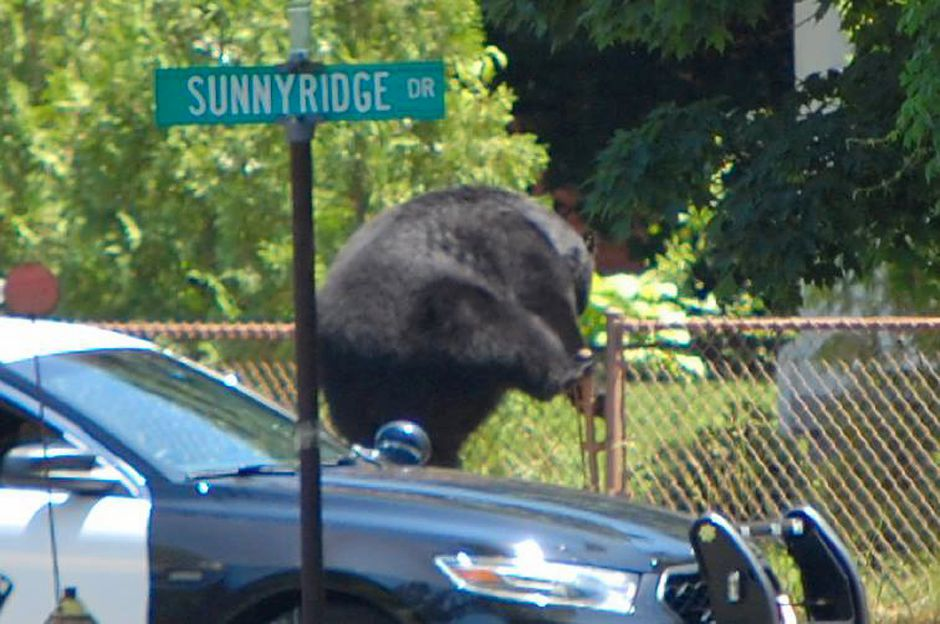 A black bear climbs over a chain linked fence on Saturday afternoon in Southington. The bear made its way through Panthorn Park up to Marion Avenue in Southington. (Photo courtesy of Peter Leppones)