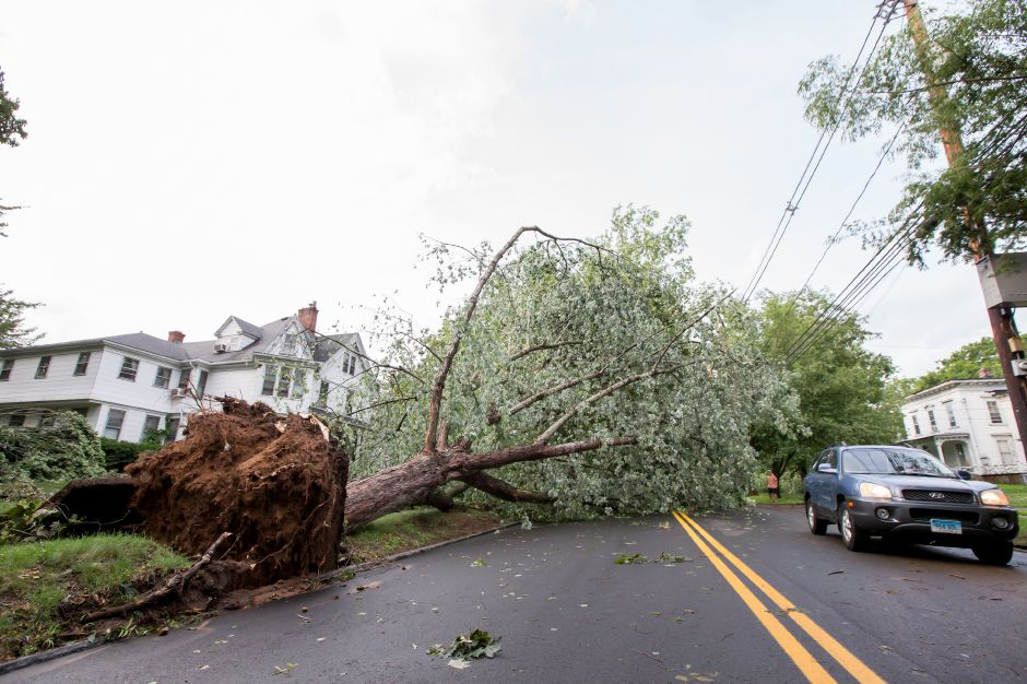 A tree was uprooted and fell across South Main Street after a thunder storm Tuesday in Wallingford Jun. 23, 2015 | Justin Weekes / For the Record-Journal