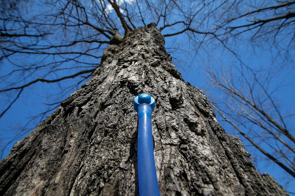 Sap is collected from a large maple tree at Karabin Farms in Southington, Tues., Mar. 19, 2019. The farm makes its own brand of maple syrup. Dave Zajac, Record-Journal