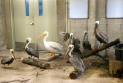 Pelicans at Zoo Miami rest after being moved into a hurricane resistant structure within the zoo, Saturday, Sept. 9, 2017 in Miami. Though most animals will reman in their secure structures, thought the cheetahs and some birds will ride out the storm in temporary housing. (AP Photo/Wilfredo Lee)