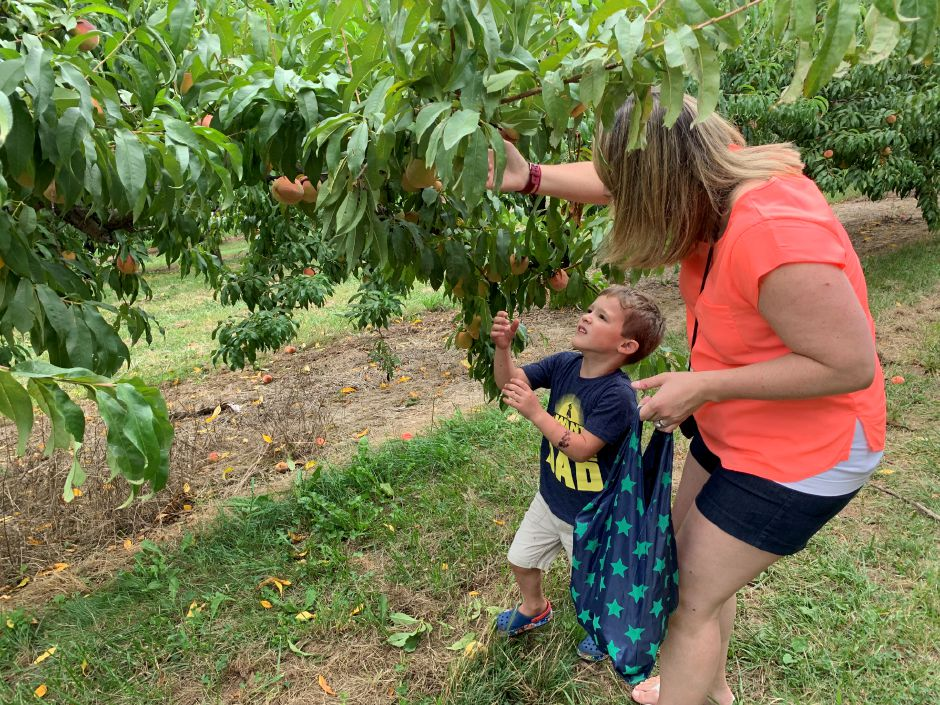 Alyssa Branday picks peaches with her family. Photo by Everett Bishop, Town Times.