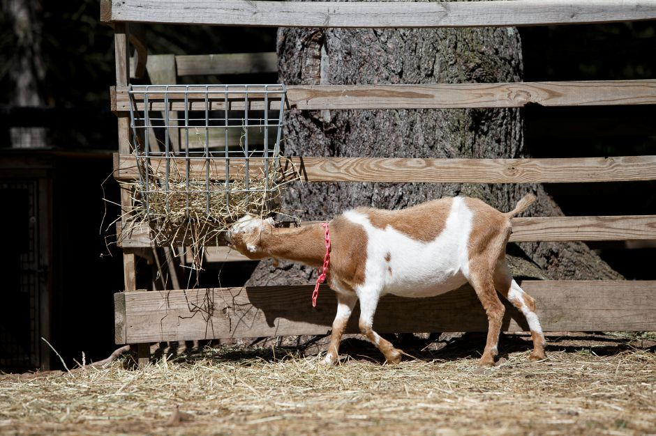 A goat feeds on some hay in the goat pen Sunday during an open farm day at Bradley Mountain Farm in Southington July 8, 2018 | Justin Weekes / Special to the Record-Journal