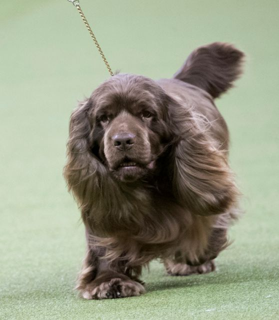 Bean, a Sussex spaniel, competes in the sporting group during the 142nd Westminster Kennel Club Dog Show, Tuesday, Feb. 13, 2018, at Madison Square Garden in New York. Bean won best in sporting group. (AP Photo/Mary Altaffer)