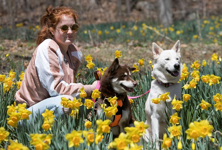 Sophia Coher, 15, of Groton, rests amid blooming daffodils with her dogs, Phoenix and Zara, Friday at Hubbard Park in Meriden.