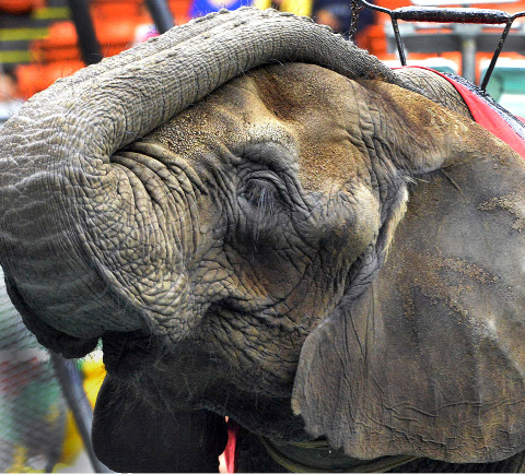 In this May 1, 2014 photo, an elephant waits to entertain the opening night crowd at the Melha Shrine Circus at the Eastern States Coliseum in West Springfield, Mass. After earning praise from animal rights groups for dropping animal performances in 2016, the Melha Shrine Circus will bring back the animal acts for seven performances over four days in May 2017. (David Molnar/The Republican via AP)