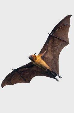 A bat in flight.