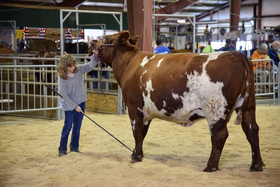 Morgan Riley, 9. of North Stonington, shows a beef cow at the Durham Fair on Friday, Sept. 28, 2018. | Bailey Wright, Record-Journal