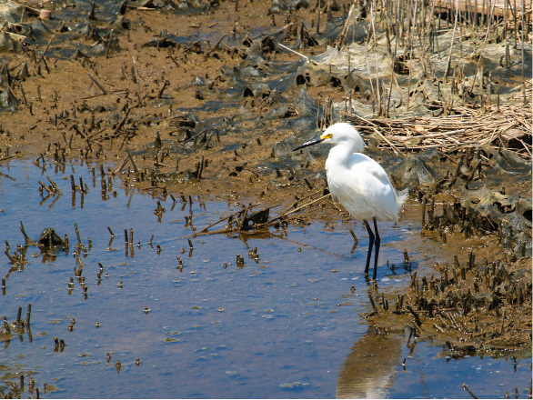 A snowy egret meanders through the marsh at Silver Sands State Park in Milford. | Richie Rathsack/Record-Journal