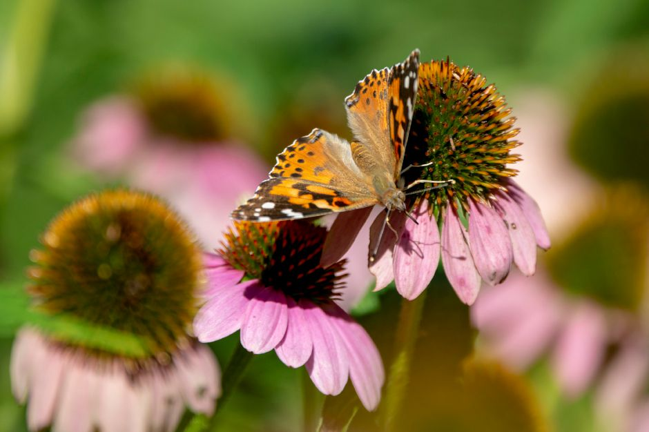 Above, a painted lady butterfly probes a coneflower at the Quinnipiac River Watershed Association Butterfly and Bee Garden on Oregon Road in Meriden on Tuesday.