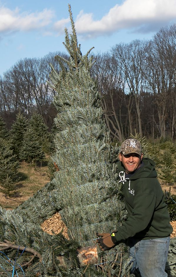 B.J. Kogut, operations manager, carries a Fraser fir Christmas tree for a customer at Kogut
