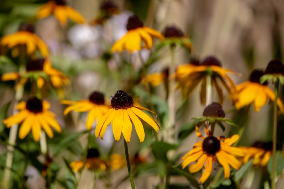 Late-season flowers such as these Black-eyed Susans continue to bloom at the Quinnipiac River Watershed Association Butterfly and Bee Garden on Oregon Road in Meriden Sept. 3, 2019. | Richie Rathsack, Record-Journal