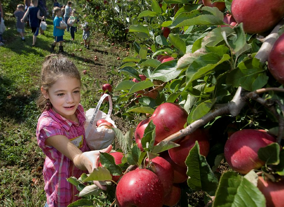 Rogers Orchards tops the list of things to do in Southington, according to TripAdvisor.com. In this file photo, Ella Huard, 6, picks apples with her first grade class while on a field trip from Hatton School, Friday, October 5, 2012. (Dave Zajac/Record-Journal)