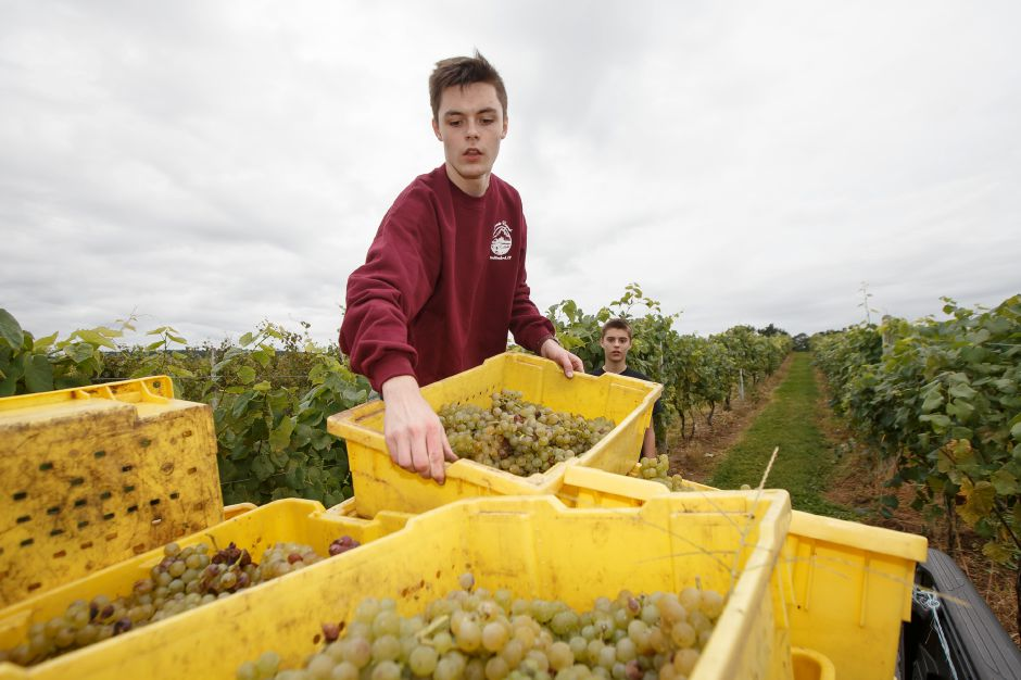 Michael Wolff 16 loads picked grape bunches into a truck Sunday during the Gouveia Vineyards Harvest at Gouveia Vineyards in Wallingford September 23, 2018 | Justin Weekes / Special to the Record-Journal