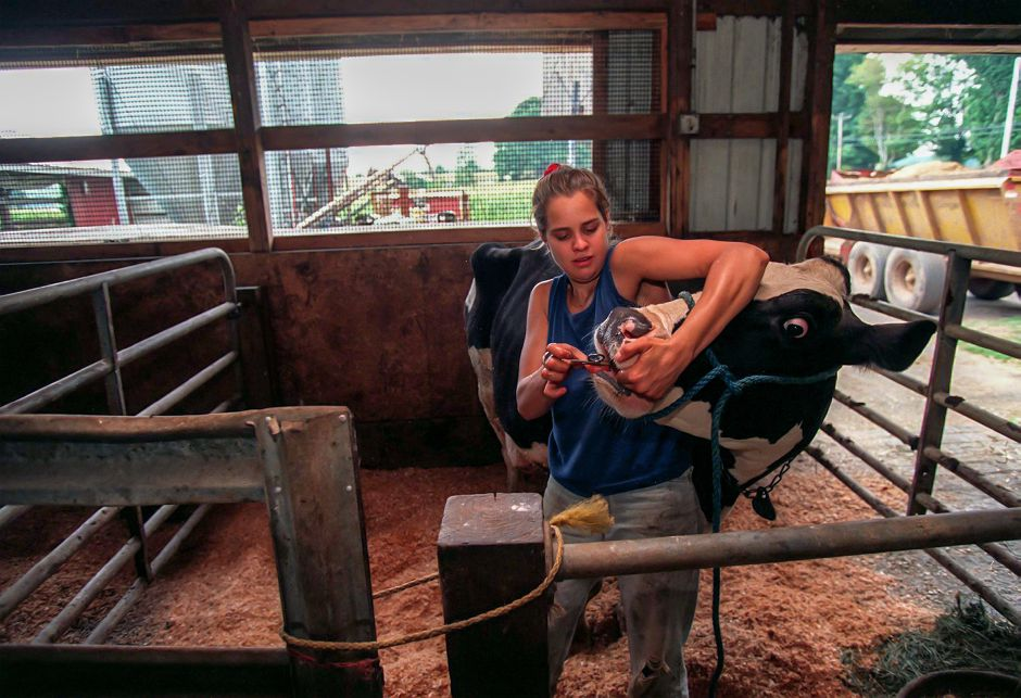 Melissa Greenbacker gives a cow with a sore leg an asprin in the barn of Brookfield Farm in Durham July 23, 1999. The heat makes life hard for the livestock and also hard on the crops they grow.