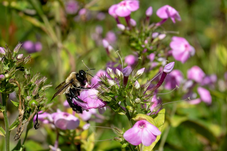 A bmblebee inspects flowers in the Quinnipiac River Watershed Association Butterfly and Bee Garden on Oregon Road in Meriden Sept. 3, 2019. | Richie Rathsack, Record-Journal