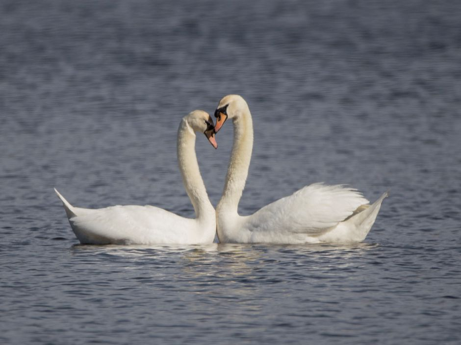 A pair of swans nuzzle each other at North Farms Reservoir in Wallingford Monday April 10, 2017. | Richie Rathsack, Record-Journal