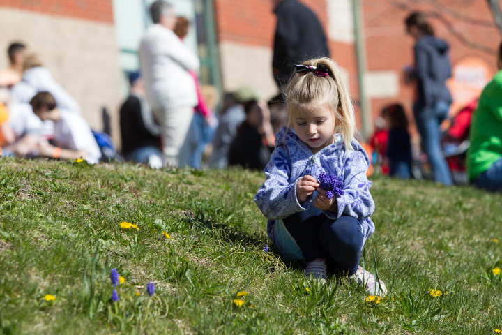 Abby Cohen 4 of Southington picks flowers before the start Sunday during the Walk MS held at Cheshire High School in Cheshire Apr. 17, 2016 | Justin Weekes / For the Record-Journal
