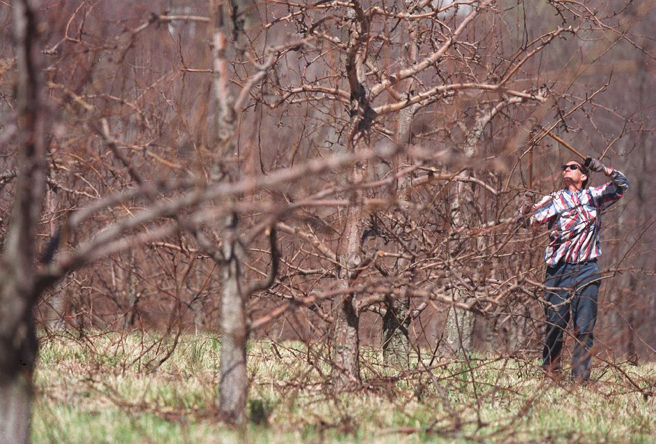 RJ file photo - Bill Elyett, of Wallingford, snips away at the pear trees at Blue Hill Farms in Wallingford, where he works, April 9, 1999.