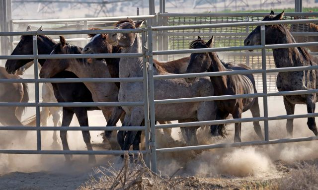 FILE - In this July 18, 2018, file photo, wild horses are held in a temporary pen after being rounded up the night before due to insufficient water to sustain them, in a desert area near Salt Lake City. The U.S. government is seeking new pastures for thousands of wild horses that have overpopulated Western ranges. Landowners interested in hosting large numbers of rounded-up wild horses on their property can now apply with the U.S. Bureau of Land Management. (AP Photo/Rick Bowmer, File)