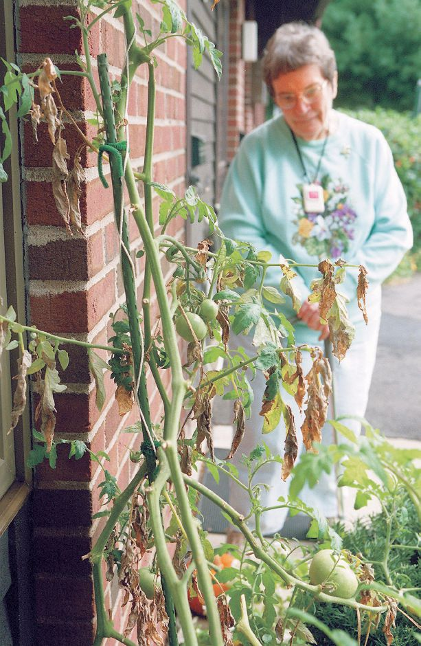 RJ file photo - Georgie DiLullo of Southington with the tomato plant she grew on a whim. The plant now nearly reaches her roottop and has produced about 200 tomatoes, Sept. 1998.