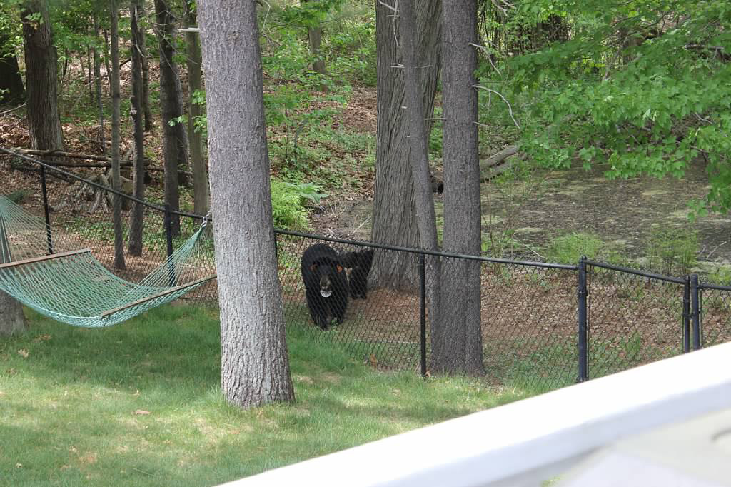 A bear and three cubs were spotted walking through a neighborhood near Lena Avenue in Plainville, Tuesday, May 12, 2015. l Photo courtesy of Sue Jacobs-Lariviere