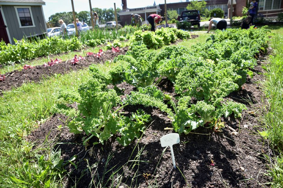 Lettuce growing at Durham-Middlefield Giving Garden, behind the community center on Main Street, on June 14, 2019. All the food produced is donated. Volunteers are welcome every Saturday from 9 a.m. to noon. | Bailey Wright