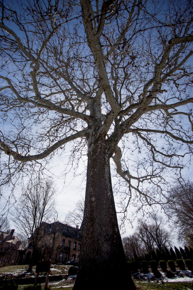 A large sycamore tree stands near the East Main Street entrance to the Augusta Curtis Cultural Center March 13, 2017. | Richie Rathsack, Record-Journal