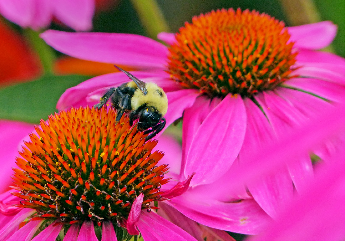 Bees are busy gathering pollen in the flower beds at Wilcox Park.| Harold Hanka, The Westerly Sun