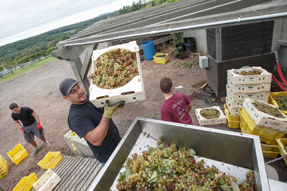 Walter Soria of Meriden dumps grape bunches into the destemmer crusher to begin the wine making process Sunday during the Gouveia Vineyards Harvest at Gouveia Vineyards in Wallingford September 23, 2018 | Justin Weekes / Special to the Record-Journal