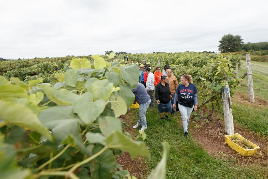 Volunteers walk the isles of grape vines picking ripe grapes Sunday during the Gouveia Vineyards Harvest at Gouveia Vineyards in Wallingford September 23, 2018 | Justin Weekes / Special to the Record-Journal