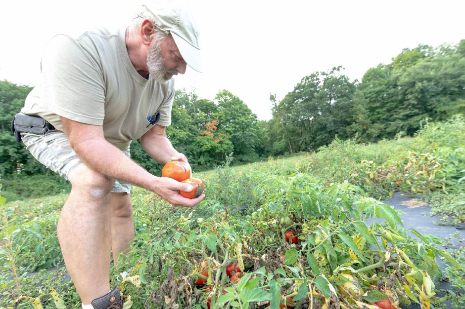 Steve Vengtson, owner of Cold Springs Brook Farm in Berlin, inspects tomatoes on the farm. Many farmers have been struggling with high rainfalls and humidity damaging crops like tomatoes. | Devin Leith-Yessian/Record-Journal