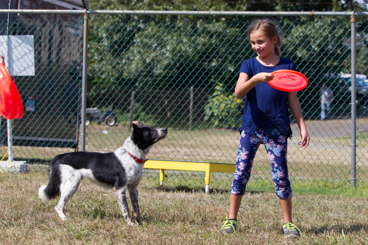 "Sabrina Flach 8 of Seymour throws a frisbee to ""Mucho"" a 4 year old border collie in the The Marvelous Mutts show Sunday during the 75th Annual North Haven Fair in North Haven September 10, 2017 