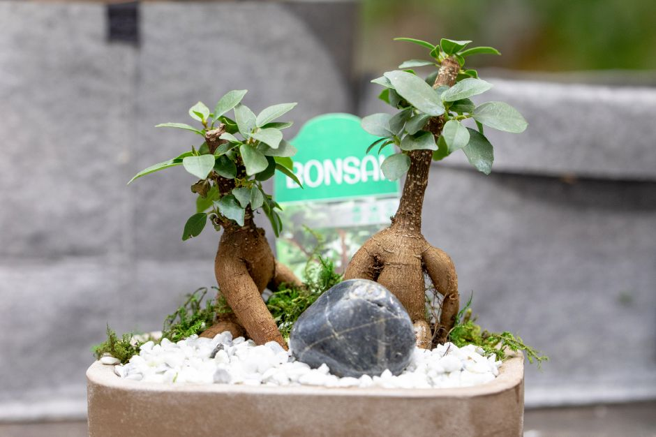 A Bonsai plant at The Lil