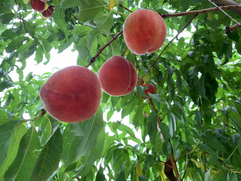 Some of the peaches ready for picking at the Lyman Orchard Peach Fest. Photo by Everett Bishop, Town Times.