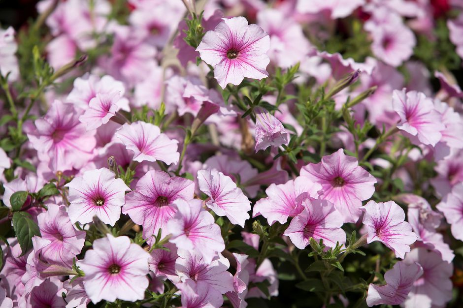 One of a variety of petunias available at Nyren