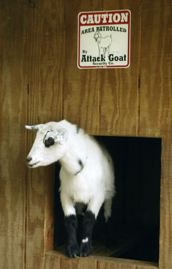 Karabin Farms ranks sixth on TripAdvisor.com's list of things to do in Southington. In this undated file photo, a Nigerian Dwarf goat stands in his doorway.