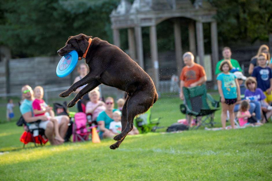 Dolan launches into the air to grab a disc during the SkyHoundz disc dog competition at Doolittle Park in Wallingford Aug. 22, 2018. | Richie Rathsack, Record-Journal