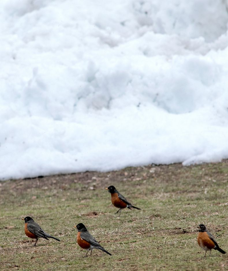 Robins forage for food at Hubbard Park as the fourth nor
