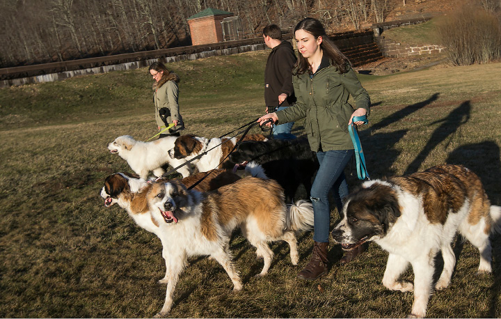 Left to right, Robie-Lyn Harnois, Greg Westman and Nikki Woodtke, all of Meriden, walk several large dogs including St. Bernards, a Newfoundland and Great Pyrenees at Giuffrida Park in Meriden, Friday, March 3, 2017.  | Dave Zajac, Record-Journal