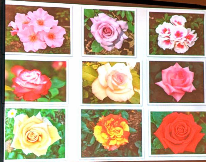 Just a few of the roses Marijana grows in her yard and gardens