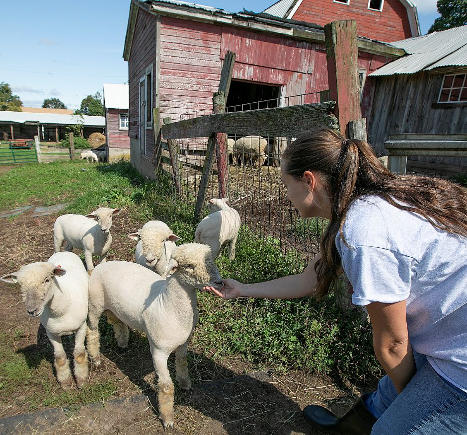 Anna Kolodziej, checks on Southdown sheep rescued from a barn fire on Murdock Avenue in Meriden, Thursday, Sept. 20, 2018. About a dozen sheep were rescued from the barn fire. Kolodziej is the daughter of the former owners of the barn. Dave Zajac, Record-Journal