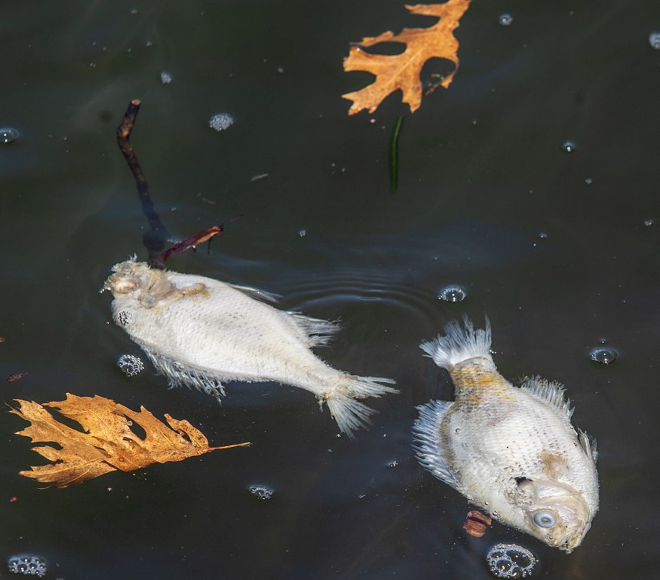 Some of the hundreds of dead fish in Broad Brook Reservoir along Reservoir Road in Cheshire, Tues., Apr. 16, 2019. Dave Zajac, Record-Journal