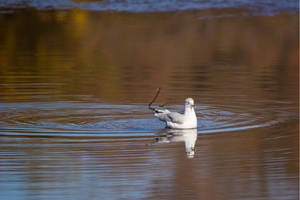 A gull swims in the Quinnipiac River at Hanover Pond in Meriden Tuesday Nov. 8, 2016. | Richie Rathsack/Record-Journal