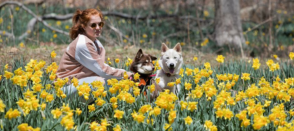 Sophia Coher, 15, of Groton, camps out in blooming daffodils with dogs, Phoenix, 1, left, and Zara, 1, at Hubbard Park in Meriden, Friday, April 20, 2018. Dave Zajac, Record-Journal