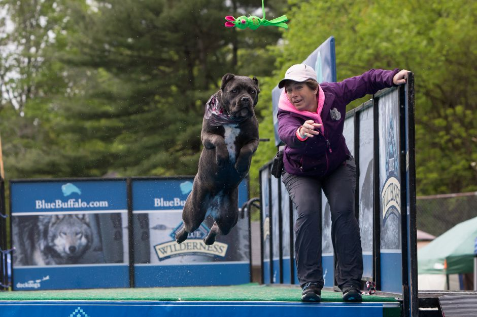 "Tina Biello of Bristol tosses a toy for ""Jasmin"" a 1 year old Cane Corso Sunday during Dockdogs Extravaganza event at Cheshire Town Park in Cheshire May. 14, 2017 