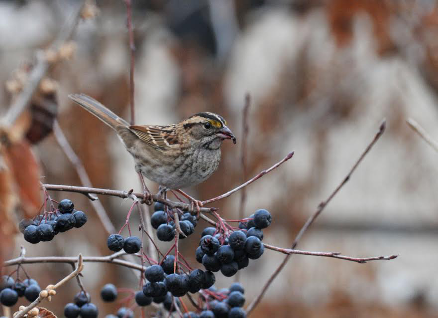 Sparrow enjoying a Viking black chokeberry.