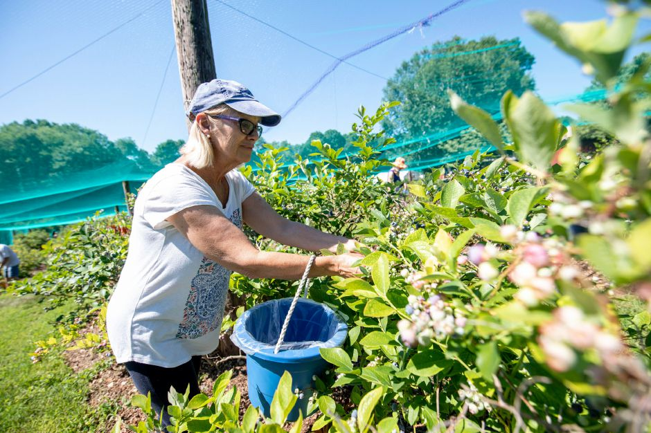 Blueberry picking is now open at Hrubiec Farm in Berlin. With over 5, 000 bushes to pick from, the season will continue well into August. | Devin Leith-Yessian/Berlin Citizen