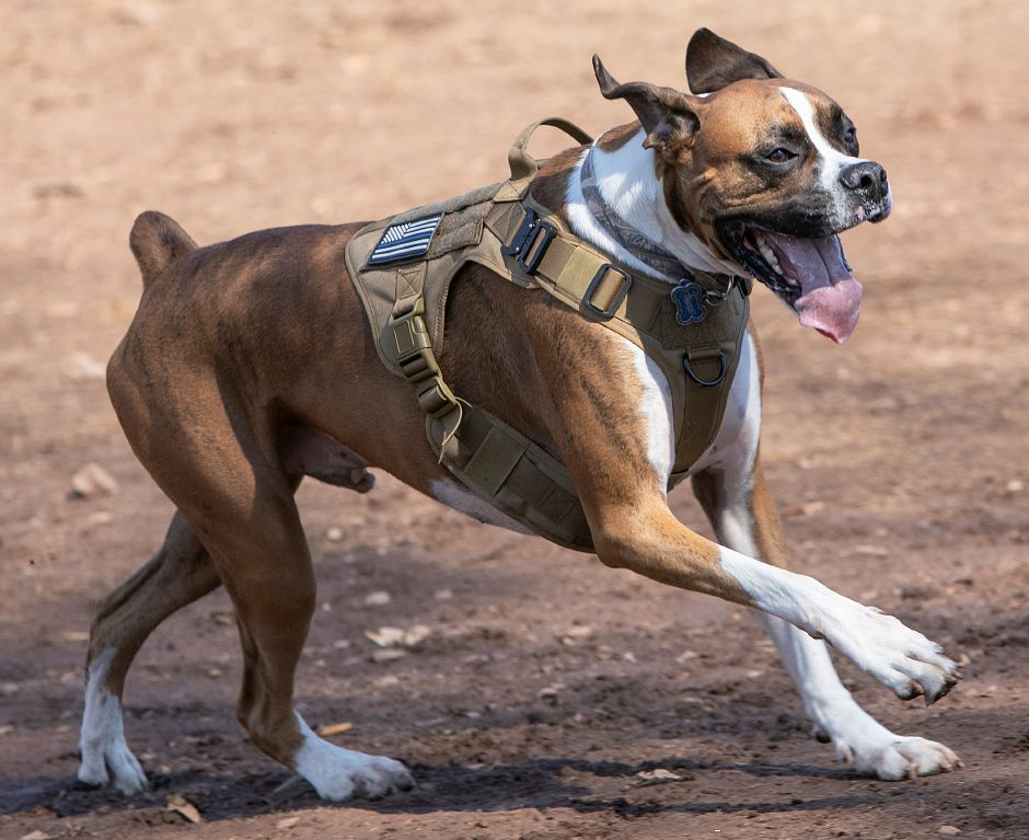"Boxer ""Tiger"" owned by Jose Irizarry, of Meriden, runs around the Meriden Dog Park at Beaver Pond in Meriden on Wednesday."