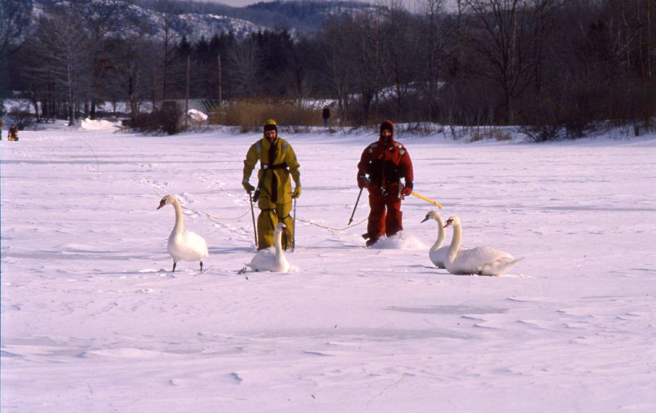 RJ file photo - Cpatain Gene Letourneay and Firefighter Rich Wasilewski rescue swans trapped in the ice at North Farms Reservoir in Wallingford Jan. 27, 1994.